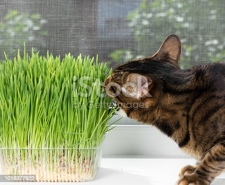 Domestic cat eating green grass on window sill