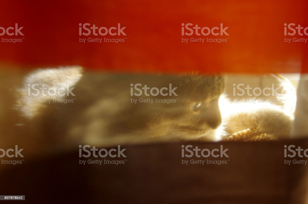 Domestic cat hidden behind curtain stock photo