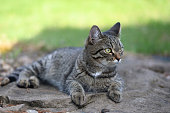 A domestic cat hunts in nature. Free animal