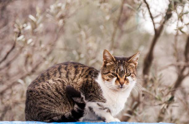 domestic cat in garden of village house - ocicat foto e immagini stock