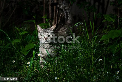 Secret nightlife of a countryside cat. Tabby cat with green eyes captured while wandering around during the night.