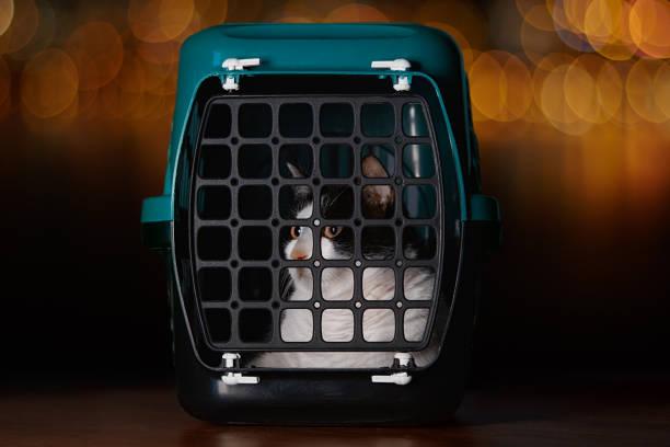 chat domestique à l'intérieur d'une boîte de porteur d'animal familier regardant avec de grands yeux effrayés - cage animal nuit photos et images de collection