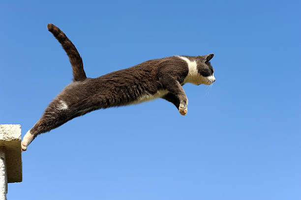 Domestic cat jumping picture id157590047?b=1&k=6&m=157590047&s=612x612&w=0&h=nno5 eze2ibkjg06esx0y8n1gtlf5ohhgnz7isu38ks=