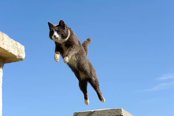 Domestic cat jumping picture id157594145?b=1&k=6&m=157594145&s=612x612&w=0&h=pc qbhvcxi9t0xx3ropuox5lyfenuq7klfpits3f ye=