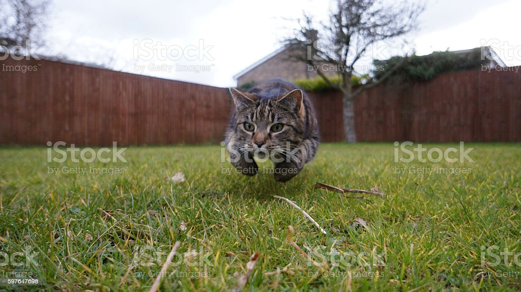 Domestic cat jumping towards the camera stock photo