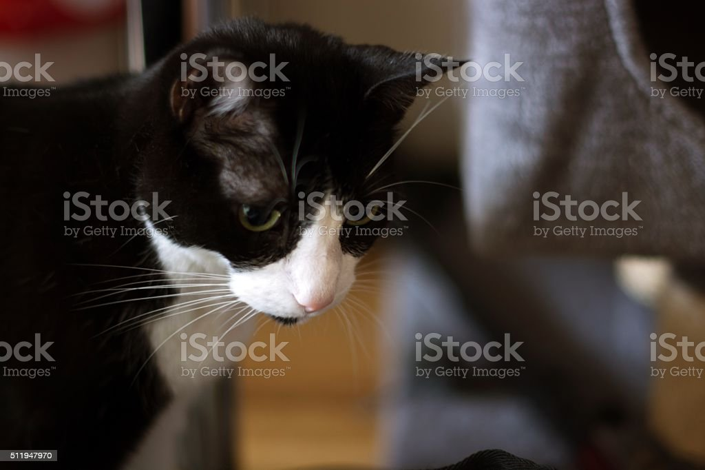 Black and white cat looking.