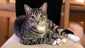 Domestic cat looking straight to the camera and sitting on a chair in a calm, relaxed position; adorable, young short-hair Mackerel tabby feline pet in the home environment chilling on favorite chair.