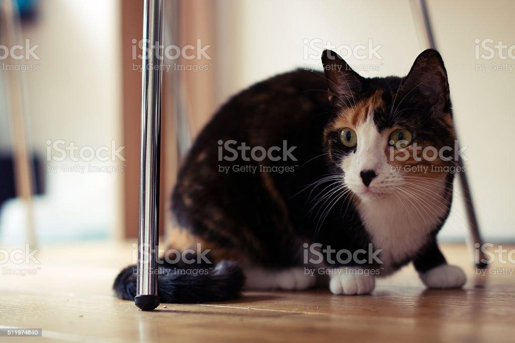 Cute domestic cat staring.