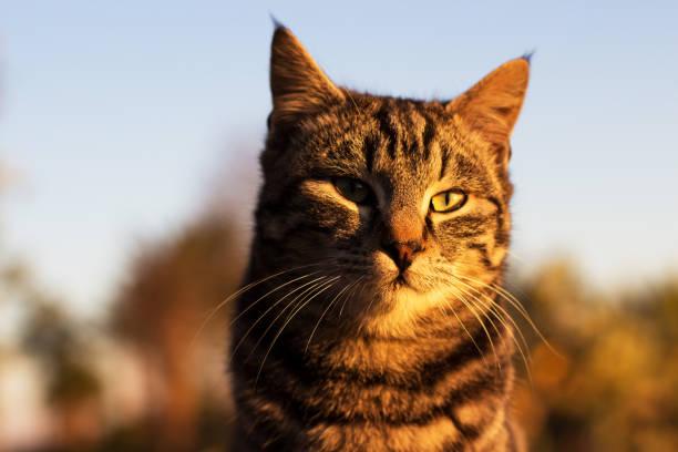 Domestic cat on sunrise picture id638171238?b=1&k=6&m=638171238&s=612x612&w=0&h=hmsm7kopzfr ozaxxs0kg5ugvsn1cblh5xn1nlotm4s=