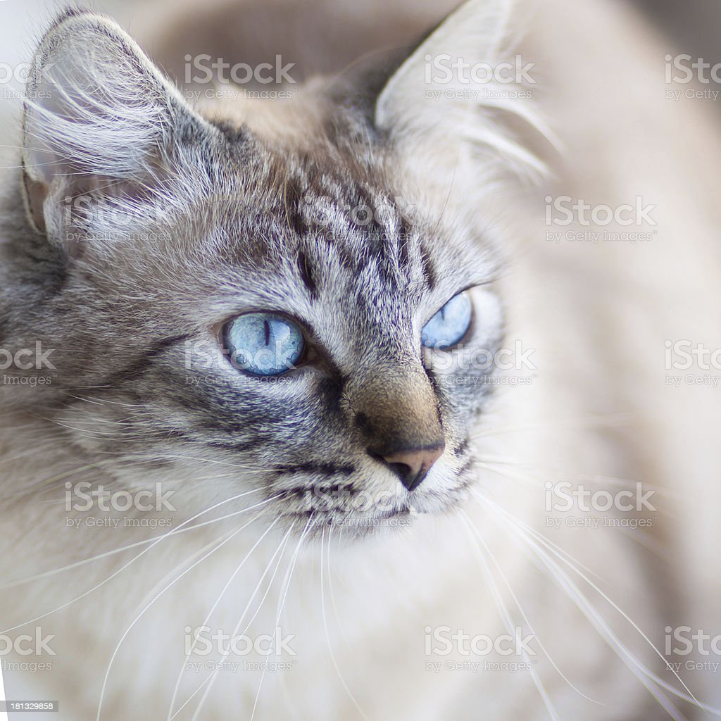 Domestic cat. royalty-free stock photo