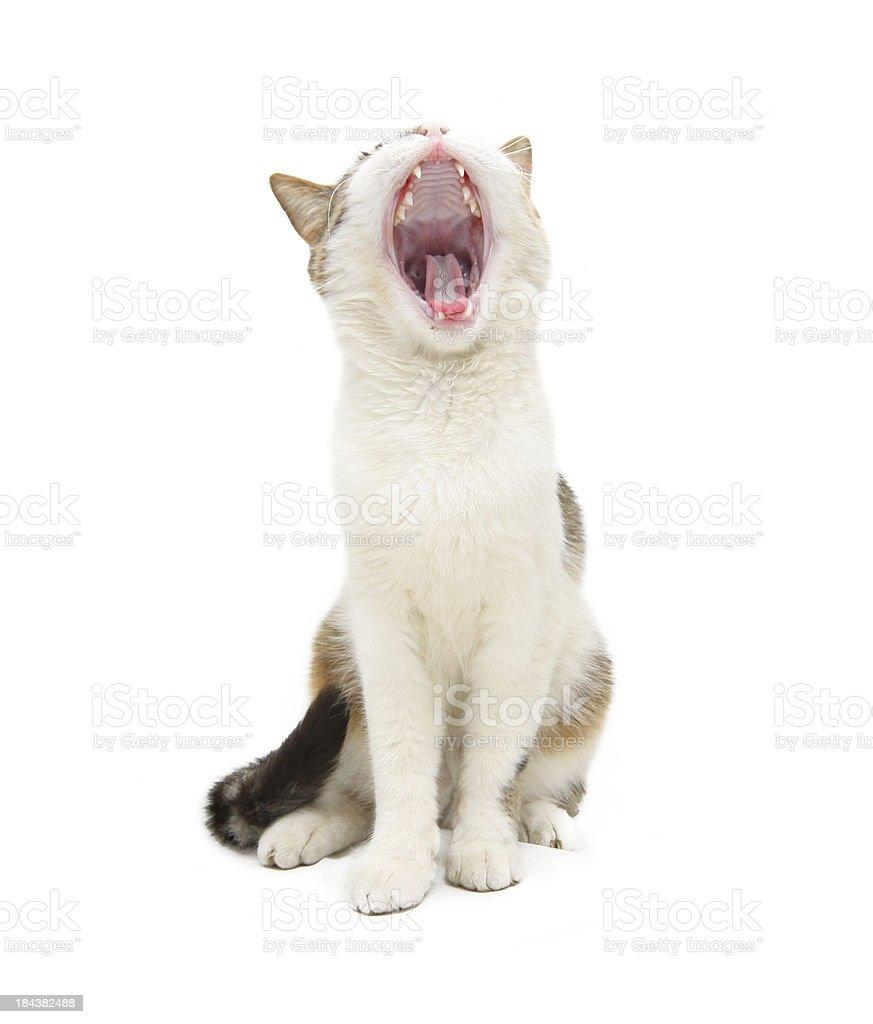Gatto domestico - foto stock