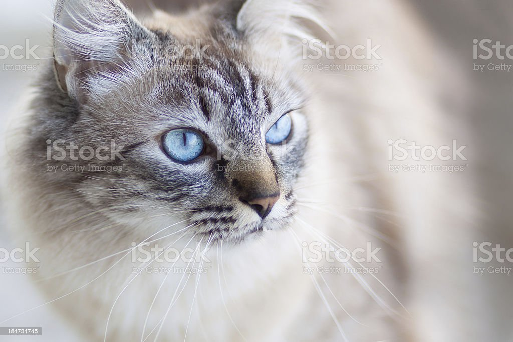 Domestic cat. royalty-free stock photo