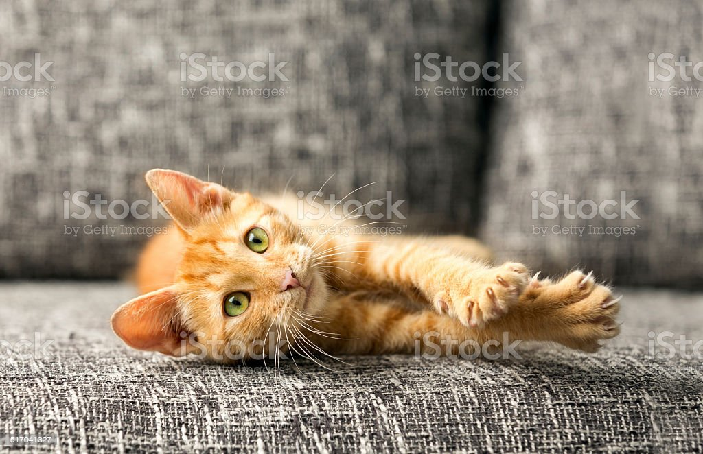domestic cat playing
