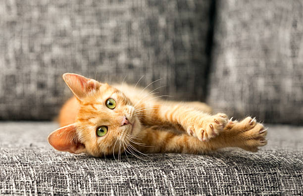 domestic cat domestic cat playing claw stock pictures, royalty-free photos & images