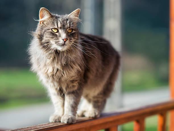 Domestic cat picture id530809772?b=1&k=6&m=530809772&s=612x612&w=0&h=naz  6xt964mfehfdorjsjopjjoxrs ud42mugdv0zm=