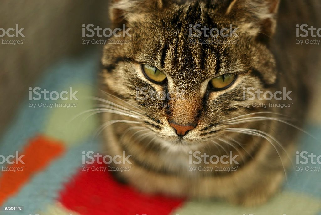 Domestic Cat royalty-free stock photo