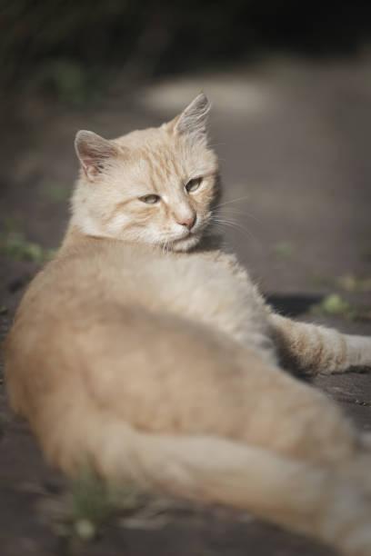 Domestic cat portrait. Ginger cat animal stock photo