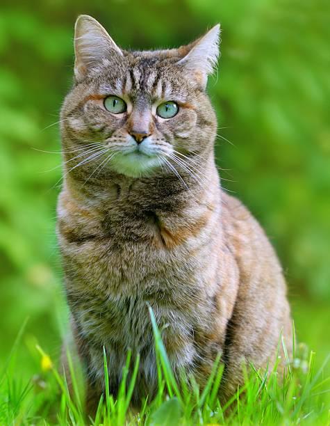 Domestic cat portrait in grass picture id157603578?b=1&k=6&m=157603578&s=612x612&w=0&h=b8jiyz3lvc263l6a hn zs n06dnlkq4yet2vodjgm4=