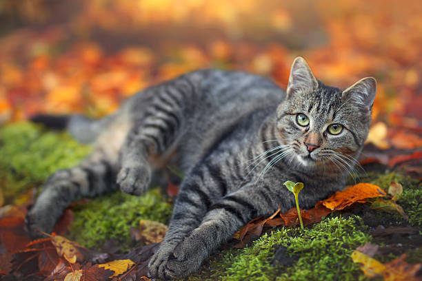 Domestic Cat resting in fall leaves stock photo