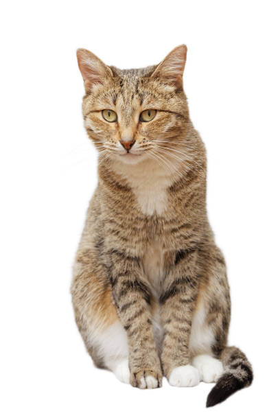 Domestic cat sits and looks straight ahead stock photo
