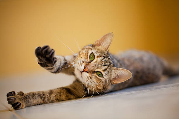 Domestic cat stretching on the floor stock photo