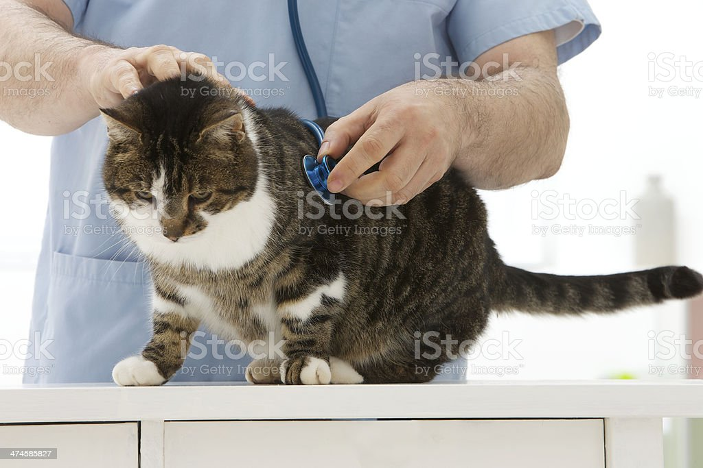 Domestic cat veterinay check up stock photo