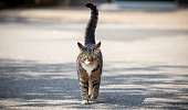 Domestic cat walking towards the camera