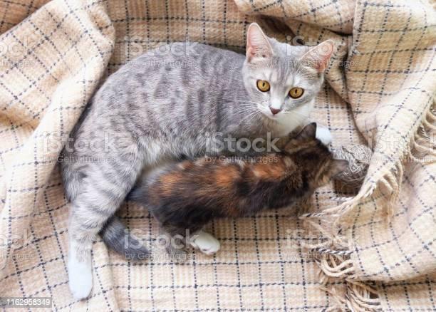 Domestic cat with a kitten picture id1162958349?b=1&k=6&m=1162958349&s=612x612&h=x9i9xowb9ffccjbwizggxlxzdiuuagypaelvbk0evje=