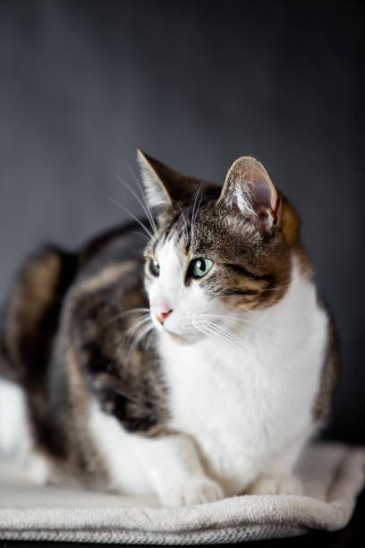 gato doméstico con fondo negro - gerardo huitrón fotografías e imágenes de stock