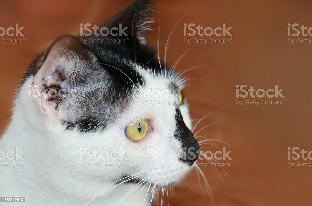 Domestic cat with earmites stock photo
