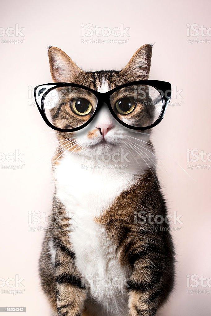 Gato doméstico con gafas. - foto de stock