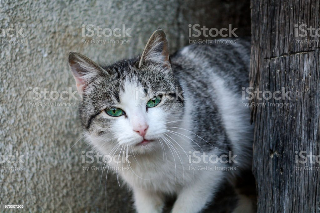Domestic Cat with Mesmerizing Green Eyes stock photo