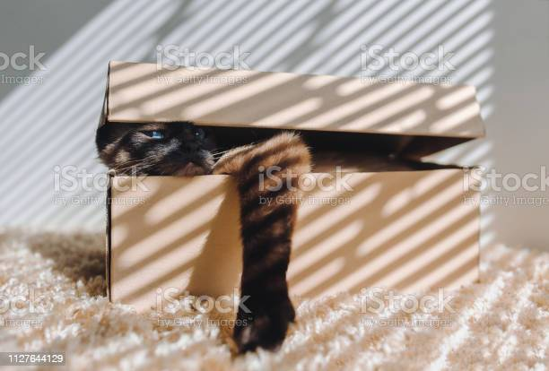 Domestic cats siamese cat hides in a box cat games new flat picture id1127644129?b=1&k=6&m=1127644129&s=612x612&h=ji5t lwpu 3aor3hont4mm8 c hdwnlurgkhorg4unm=