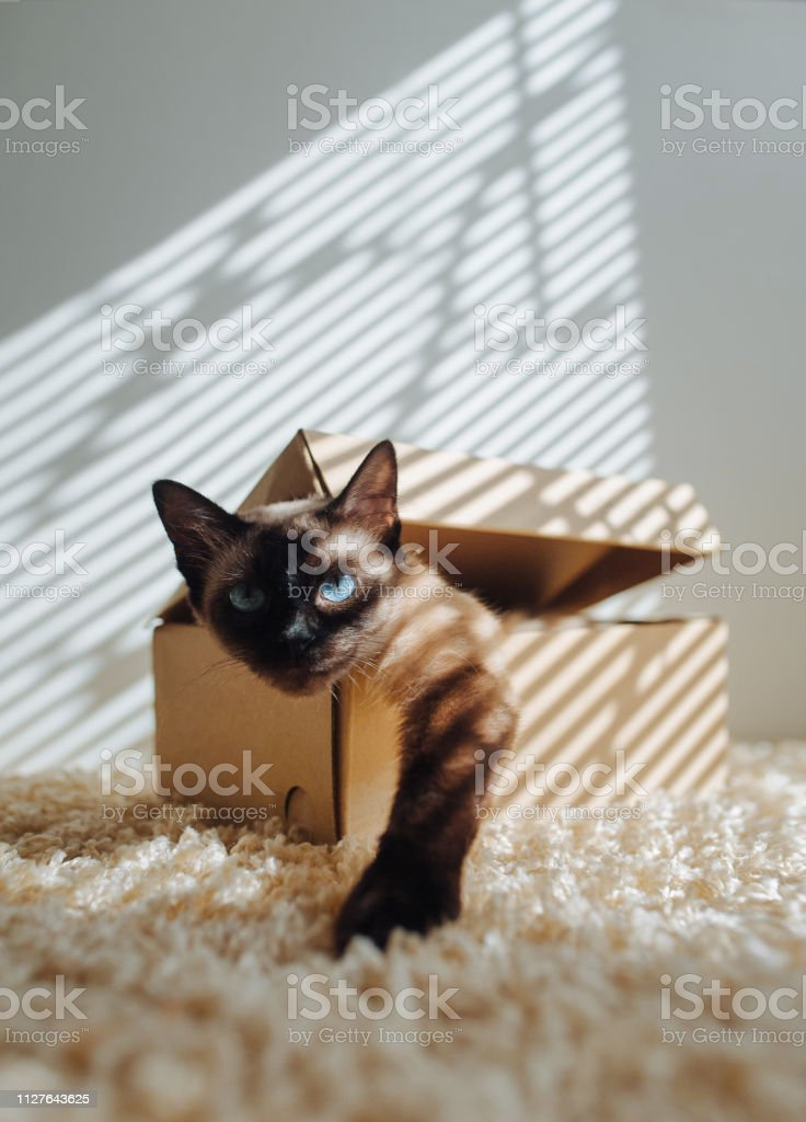 Siamese cat hiding in a box. Games for cats. The eyes are looking...