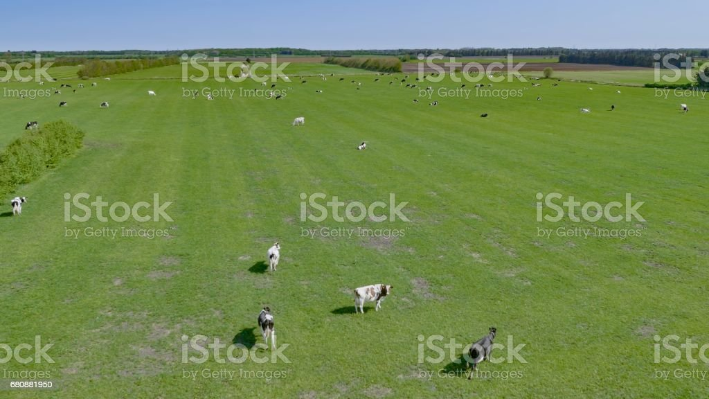 Domestic cattles grazing royalty-free stock photo