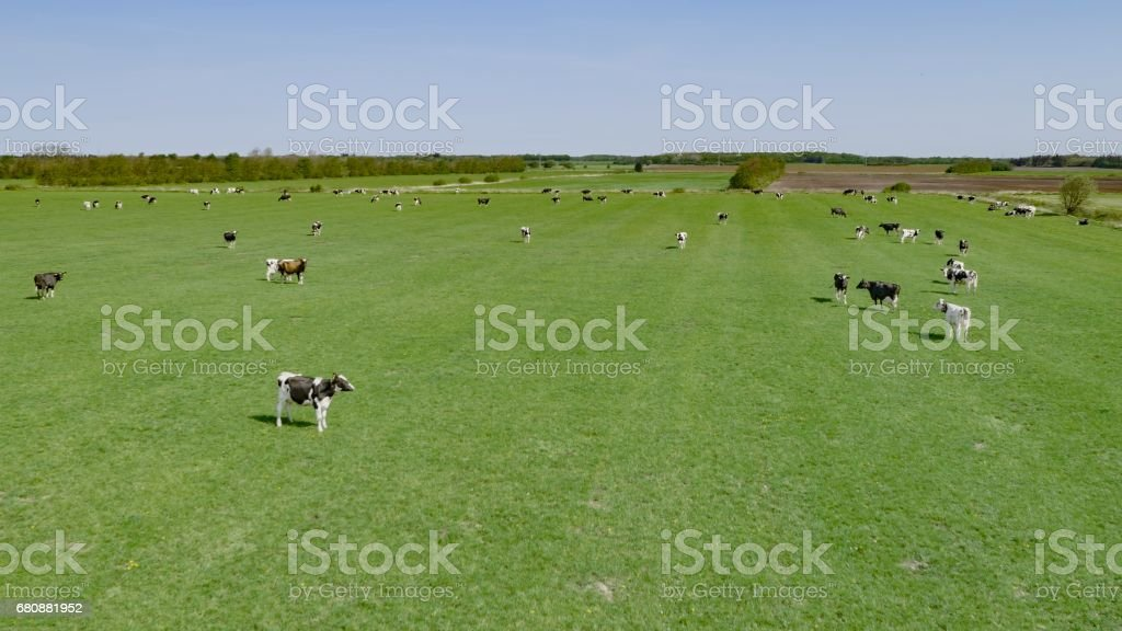 Domestic cattles standing royalty-free stock photo