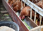 Domestic chickens eat wheat meal and vegetables in a home farm