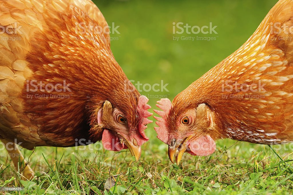 Domestic Chickens Eating Grains and Grass stock photo