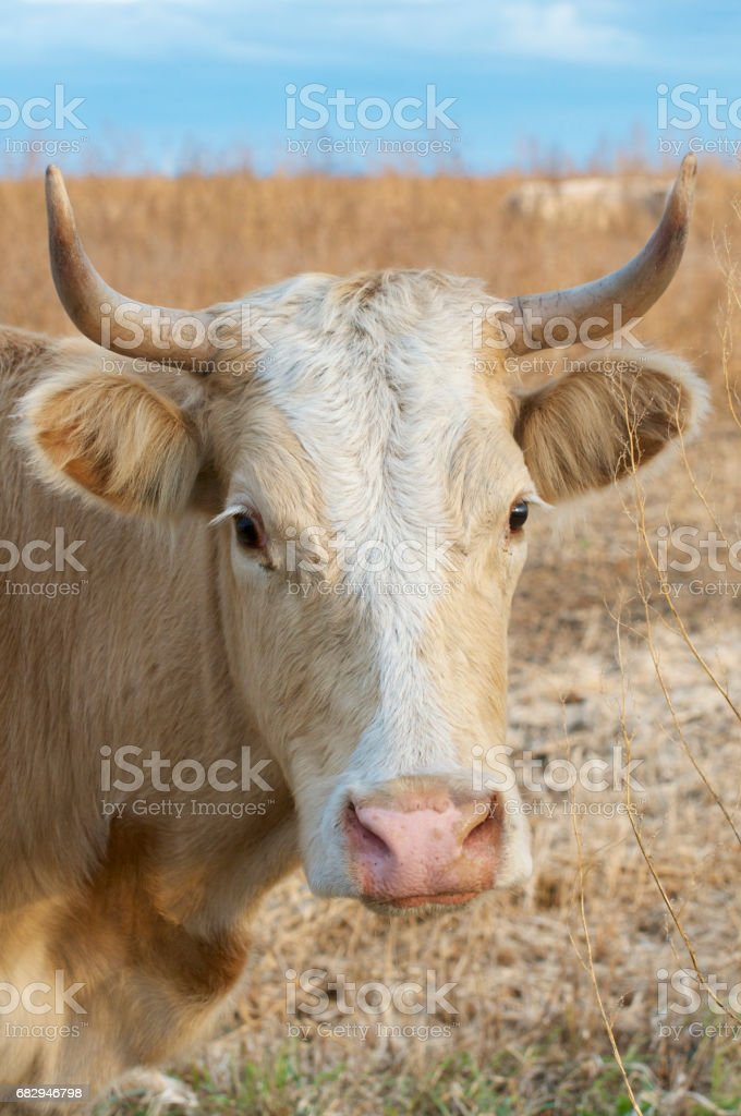 Domestic Cow royalty-free stock photo