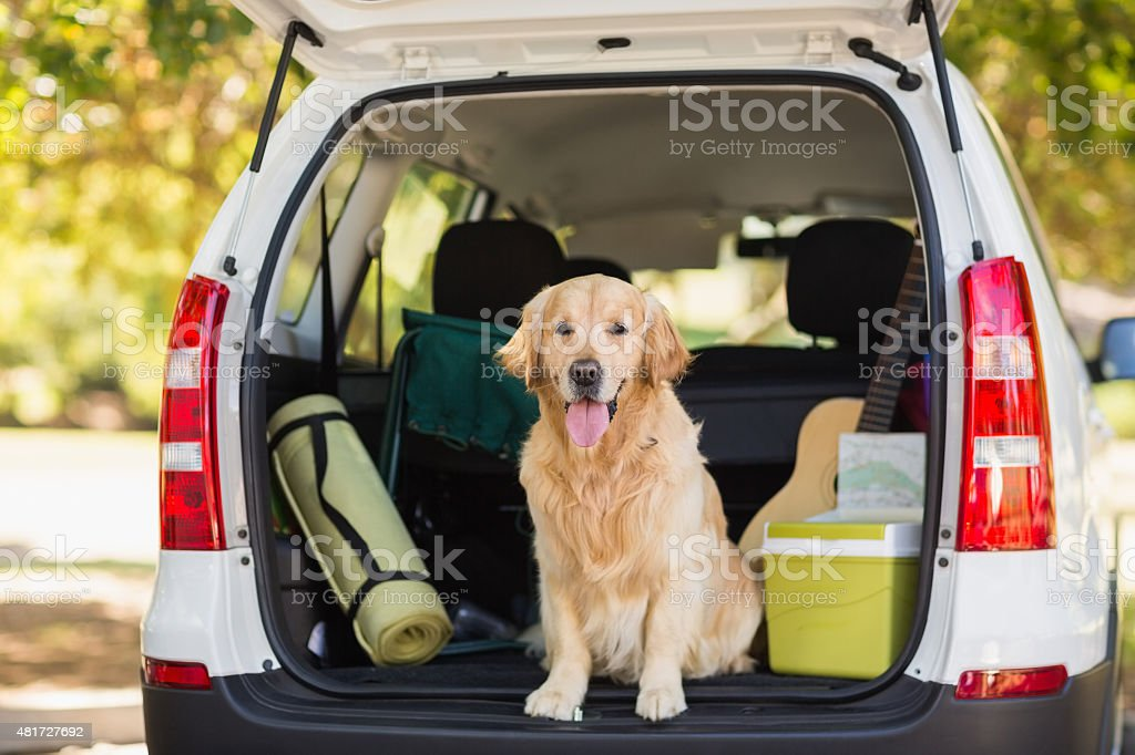 Domestic dog in car trunk stock photo