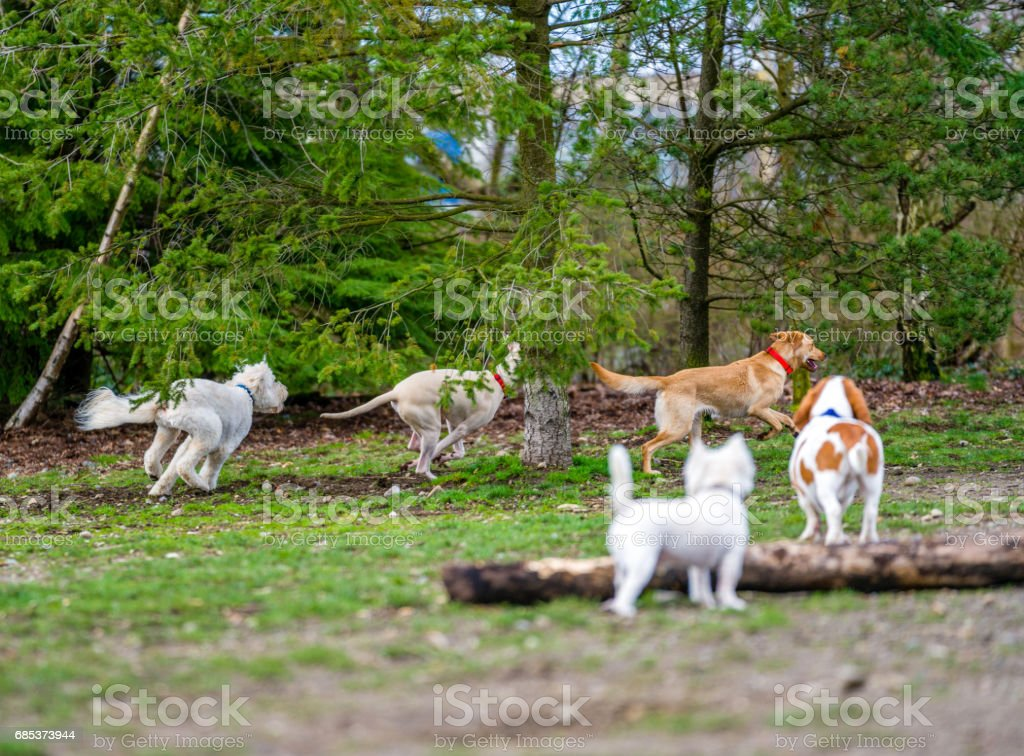 Domestic dog playing in a dog park stock photo