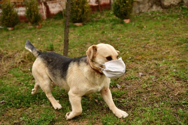 Domestic dog walking with coronavirus safety mask on the mouth stock photo