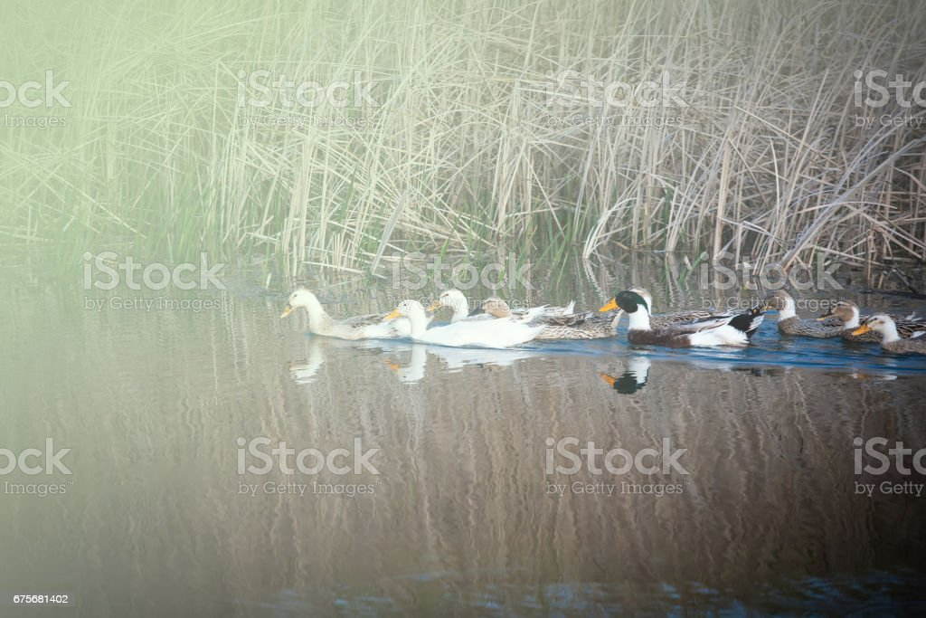 Domestic ducks to the river royalty-free stock photo