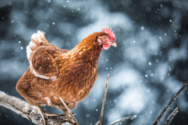 Domestic Eggs Chicken on a Wood Branch during Winter Storm. stock photo