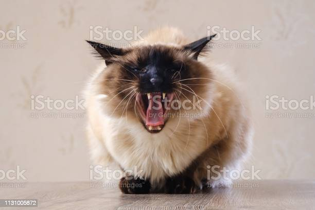 Domestic fur animal cat balinese tabby picture id1131005872?b=1&k=6&m=1131005872&s=612x612&h=fzgncpajpx6ipk4mxsjl2xis3ebch u7an5mcwdac5g=