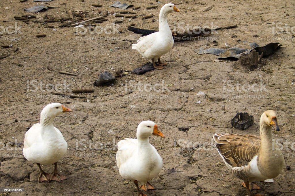 Domestic geese on a farmyard foto de stock libre de derechos
