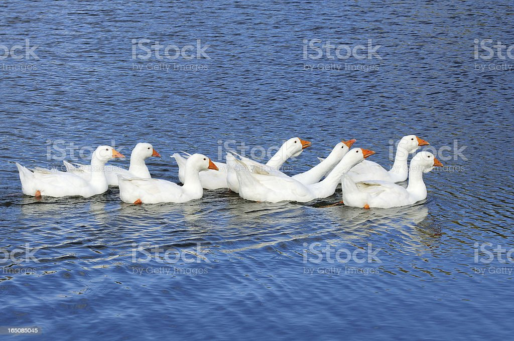 Domestic Geese Swimming in the Lake royalty-free stock photo