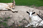 Domestic goat, Capra aegagrus hircus. Pets on the farm