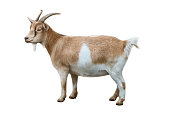 Domestic goat (Nigerian Dwarf goats) isolated on a white background