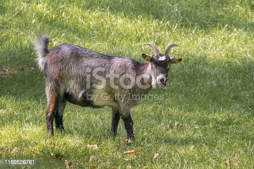 Domestic goat on a meadow. Portrait